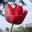 tulip copy